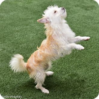 Terrier (Unknown Type, Medium) Dog for adoption in Burlingame, California - Ting Ting