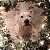 Pit Bull Terrier/Dogo Argentino Mix Dog for adoption in Alexandria, Virginia - Angel Eyes