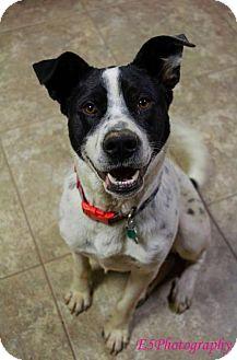 Labrador Retriever/Australian Cattle Dog Mix Dog for adoption in Montpelier, Vermont - Admiral
