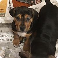 Adopt A Pet :: Jess - Doylestown, PA