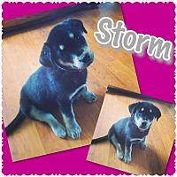 Adopt A Pet :: Storm - Longview, TX