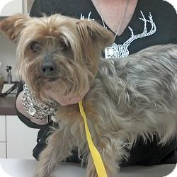 Yorkie, Yorkshire Terrier Mix Dog for adoption in Fayetteville, Arkansas - Faith