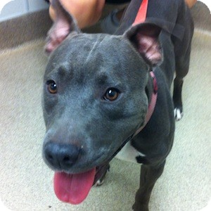 American Staffordshire Terrier Mix Dog for adoption in Gilbert, Arizona - Stella