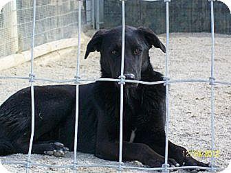 Labrador Retriever/Retriever (Unknown Type) Mix Dog for adoption in Mexia, Texas - Summer