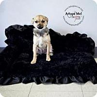 Adopt A Pet :: Nikita - Shawnee Mission, KS