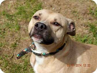 American Staffordshire Terrier Mix Dog for adoption in Lapeer, Michigan - Ella