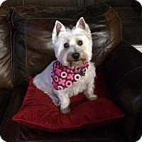 Adopt A Pet :: Sophie - Frisco, TX