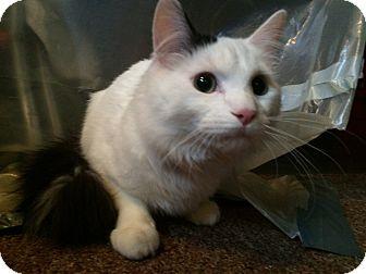 Domestic Mediumhair Cat for adoption in Rochester, Minnesota - Roman (Louie)
