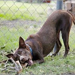 Photo 3 - Labrador Retriever/Australian Cattle Dog Mix Dog for adoption in Garland, Texas - Coco