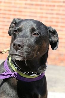 Labrador Retriever/Terrier (Unknown Type, Medium) Mix Dog for adoption in Detroit, Michigan - Blitz