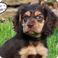Adopt A Pet :: Valerie - Lee's Summit, MO
