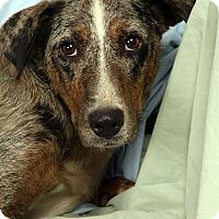 Adopt A Pet :: Princess Shephoula - St. Louis, MO