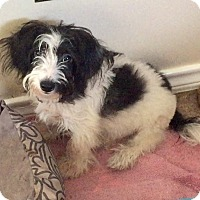 Adopt A Pet :: Oreo - Flower Mound, TX