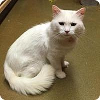 Domestic Longhair Cat for adoption in Smyrna, Georgia - Monticello