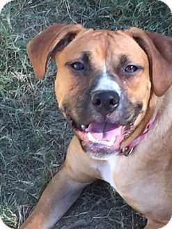 Boxer/Labrador Retriever Mix Puppy for adoption in Colmar, Pennsylvania - Dory