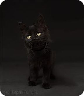 Domestic Mediumhair Kitten for adoption in Dublin, California - Sombre