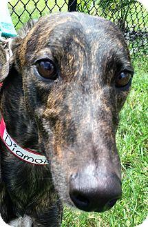 Greyhound Dog for adoption in Longwood, Florida - Crazy Diamond