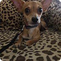 Adopt A Pet :: Grimm - Las Vegas, NV