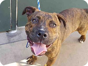 Pit Bull Terrier Dog for adoption in San Diego, California - ROCKO