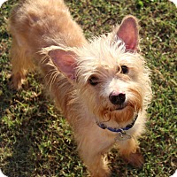 Adopt A Pet :: Shaggy - Shreveport, LA