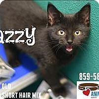 Domestic Shorthair Kitten for adoption in Burlington, Kentucky - Jazzy