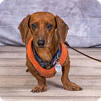 Dachshund Dog for adoption in Princeton, Minnesota - Fred