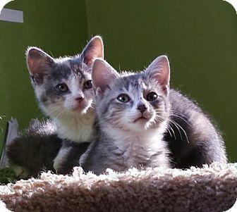 Calico Kitten for adoption in Cincinnati, Ohio - Rain