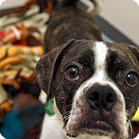 Adopt A Pet :: Fitz - Portland, OR