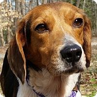 Beagle Mix Dog for adoption in Alexandria, Virginia - Rustie