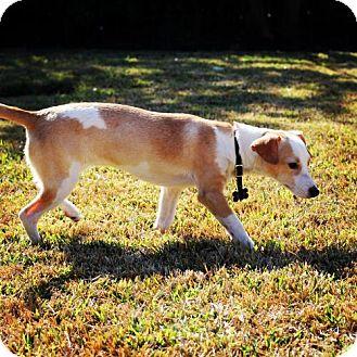 Greyhound/Dachshund Mix Dog for adoption in Houston, Texas - Honey