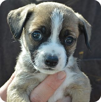 Cairn Terrier/Chihuahua Mix Puppy for adoption in Los Angeles, California - Jade