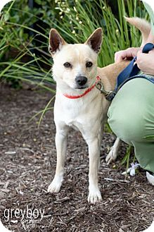 Shiba Inu Mix Dog for adoption in Mission Viejo, California - Daniel