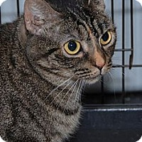 Domestic Shorthair Cat for adoption in Suffolk County, New York - PURRSIA