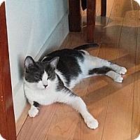 Adopt A Pet :: Cowbelle - Brooklyn, NY