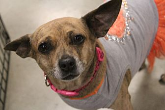 Chihuahua Mix Dog for adoption in Rosamond, California - Lucy