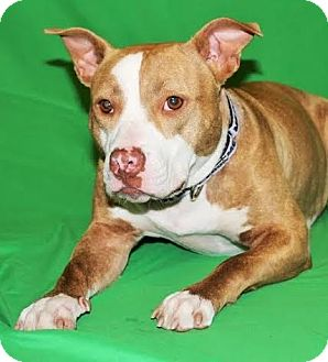 American Pit Bull Terrier/Pit Bull Terrier Mix Dog for adoption in Detroit, Michigan - Della-Adopted!