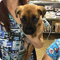 Adopt A Pet :: Raven - Homer, NY