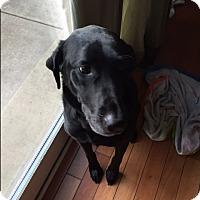 Adopt A Pet :: ZOA - Bella - Aurora, IL