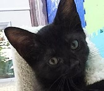 Domestic Shorthair Kitten for adoption in Dallas, Texas - Marshall