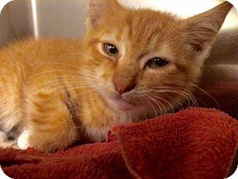 Domestic Shorthair Kitten for adoption in Herndon, Virginia - Duke