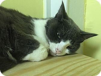 American Shorthair Cat for adoption in Washington, Virginia - Brooke