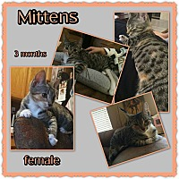 Adopt A Pet :: Mittens - Richmond, CA