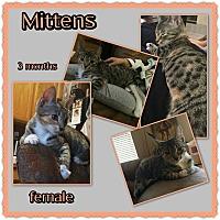 Adopt A Pet :: Mittens - Richmond, CA