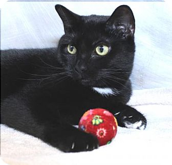 Domestic Shorthair Cat for adoption in Westampton, New Jersey - Phoenix 32148796