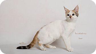 Domestic Shorthair Kitten for adoption in Riverside, California - Snicklefritz