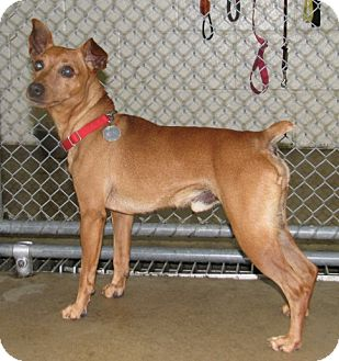 Miniature Pinscher Mix Dog for adoption in New Kensington, Pennsylvania - Mouse