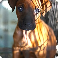 Boston Terrier Mix Puppy for adoption in West Grove, Pennsylvania - Brooke
