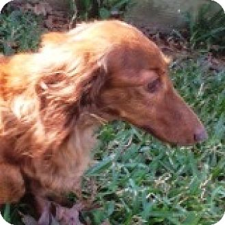 Dachshund Dog for adoption in Houston, Texas - Cora Crosswind