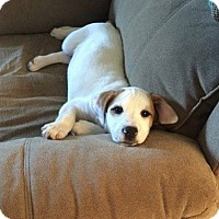 Adopt A Pet :: Daisy - Adoption Pending - Potomac, MD