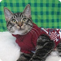 Domestic Shorthair Cat for adoption in Lloydminster, Alberta - Honolulu